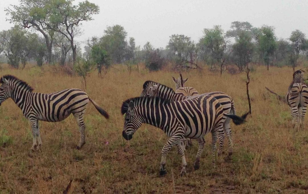 Zebras in the rain