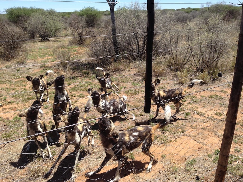 Wild Dogs at Naankuse Wildlife Foundation in Windhoek, Namibia