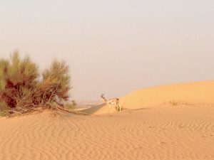 Desert around Dubai with Gazelle