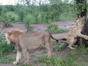 lion encounter, victoria falls, zimbabwe