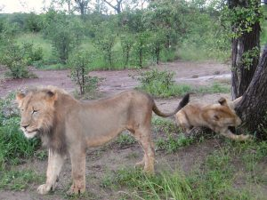 walk with lions, victoria falls