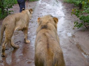 walking with lions in Victoria Falls, Zimbabwe