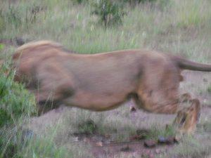 Lion phezulu attack