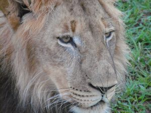 Lion Rehabilitation Programs