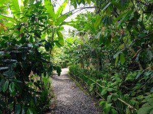 Coffee Plantation near Kintamani