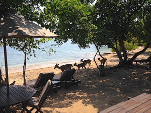 Menjangan deer on the beach walking in