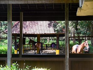 horses at the menjangan