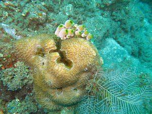 coral reef amed bali