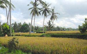 a walk in the rice fields