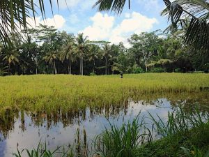 rice fields around Suara Air, Ubud