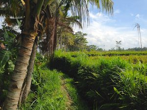 pathway through the rice fields around Ubud